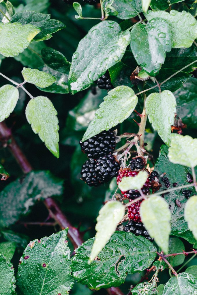 picking blackberries