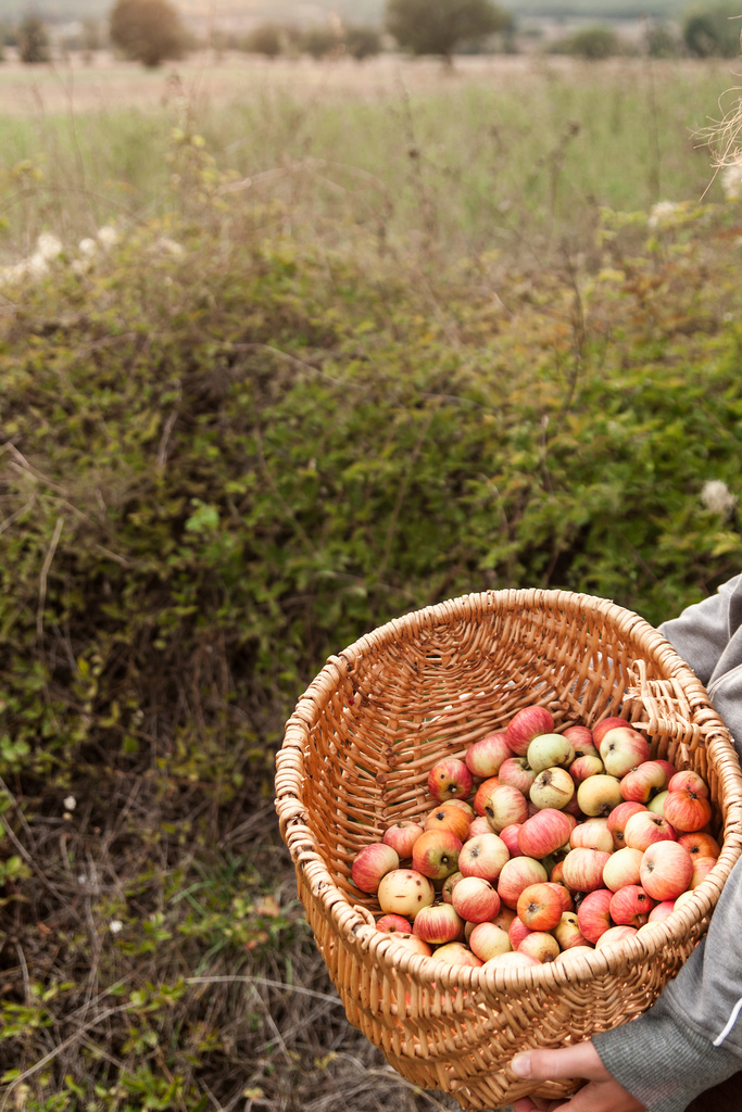 Picking Wild Apples And My Place In The World: An Apple Preserve