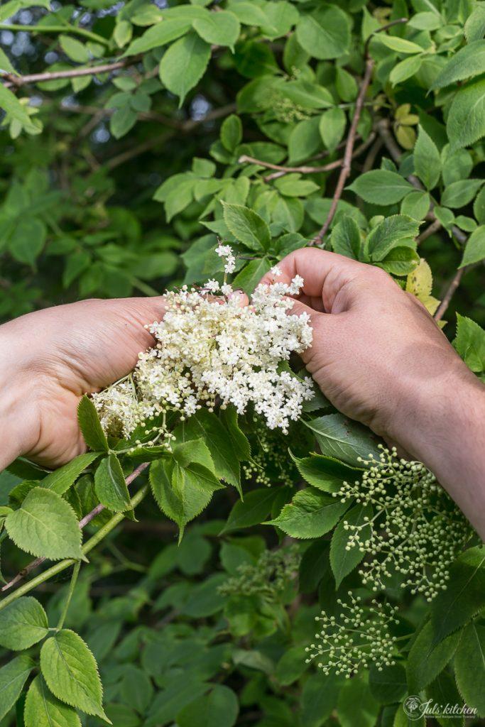 Picking elderflowers in Tuscany